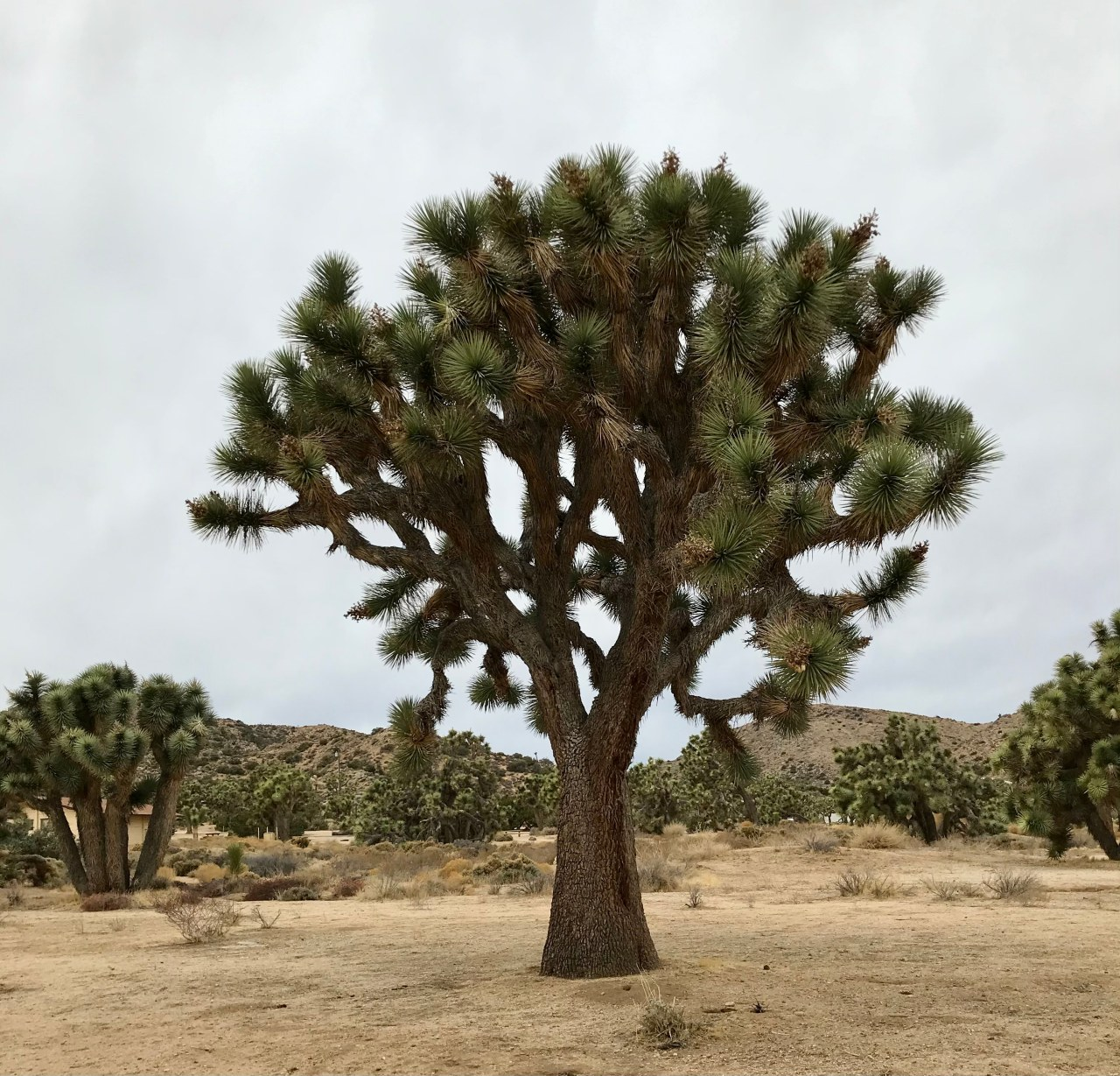 Post-Christmas in Joshua Tree